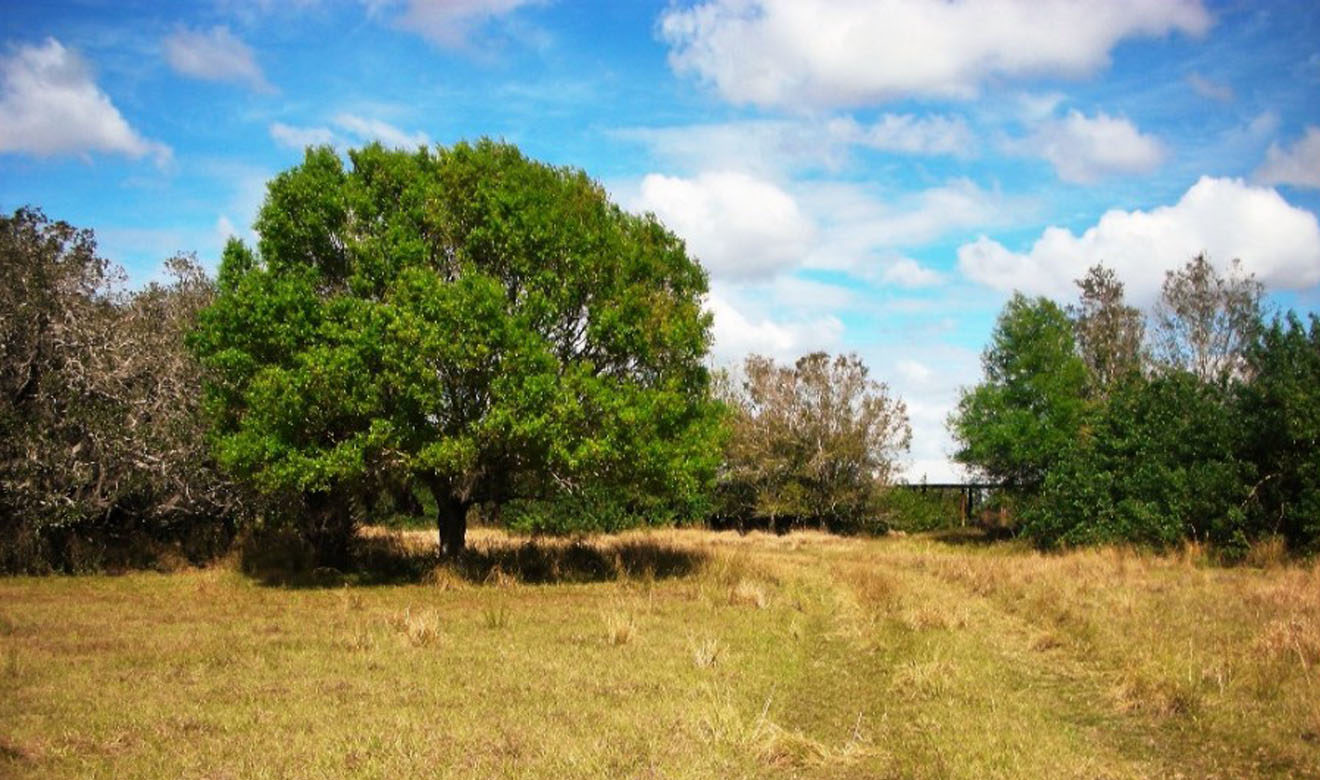 Oak Trees near cow pens