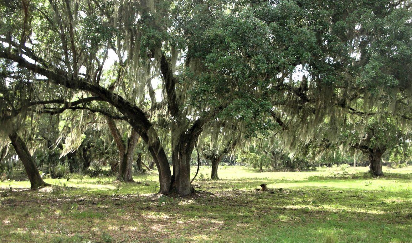 Beautiful Scattered Oaks